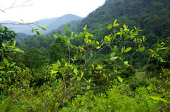 Coca plantation Royalty Free Stock Photography