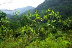 Coca plantation Royalty Free Stock Photography