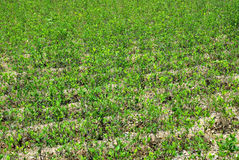 Coca plants, Andes Mountains Stock Photos