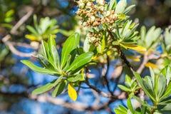 A coca sae em árvores em montanhas de Andes no Peru, na Colômbia e na Bolívia Imagens de Stock Royalty Free