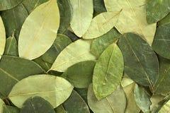 coca torkade leaves Arkivbild