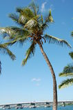 Cocanut Baum am Pearl Harbor lizenzfreies stockfoto