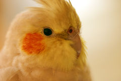 Cocatiel head. Closeup shot of the head of a femail Cocatiel bird Stock Images