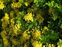 Coccinea amarillo de Ixora Fotografía de archivo