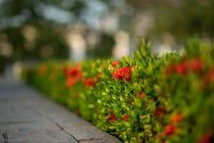 Coccinea arbusto por la acera Fotos de archivo libres de regalías