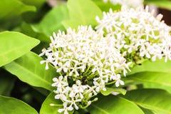 Coccinea d'Ixora de Rubiaceae de transitoire de la fleur deux blanche dans le jardin photos libres de droits
