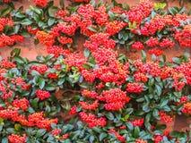 Coccinea de Pyracantha, buisson à feuilles persistantes Images stock