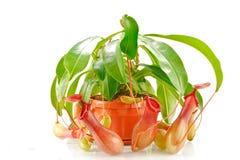 Coccinea del Nepenthes Foto de archivo