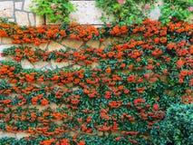 Coccinea del Pyracantha, arbusto imperecedero Fotos de archivo