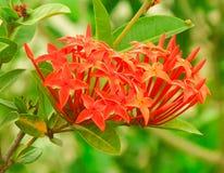 Coccinea di Ixora, gelsomino indiano rosso luminoso di ixora Immagini Stock Libere da Diritti