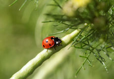 Coccinella Images stock