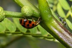 Coccinella arancio con i punti neri e una formica immagine stock
