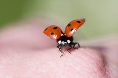 Coccinella, casa assente della mosca della coccinella immagini stock