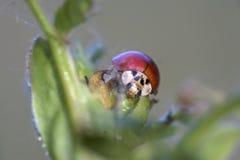 Coccinella che si siede su una pianta Fotografie Stock