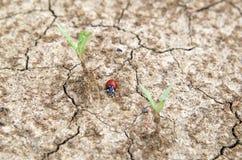 Coccinella che striscia su una terra incrinata Fotografia Stock Libera da Diritti