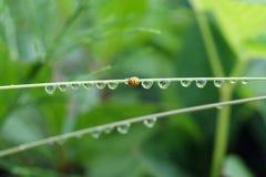 Coccinella che striscia sull'erba coperta di goccioline di acqua Fotografia Stock Libera da Diritti