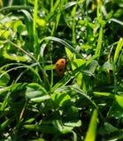 Coccinella con fondo erboso verde immagine stock libera da diritti