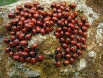 Coccinella degli insetti della colonia Immagini Stock Libere da Diritti