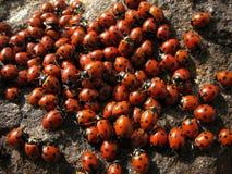 Coccinella degli insetti della colonia Immagine Stock