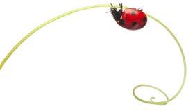coccinella del Sette-punto o ladybug del sette-punto Fotografia Stock Libera da Diritti
