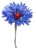 coccinella del Sette-punto o ladybug del sette-punto Fotografia Stock