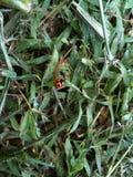 Coccinella dello scarabeo Fotografie Stock Libere da Diritti