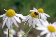 Coccinella e fiori Fotografie Stock Libere da Diritti