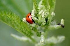 Coccinella e formica rosse Immagini Stock Libere da Diritti