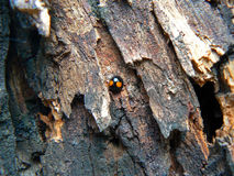 Coccinella giapponese sulla corteccia di albero immagini stock libere da diritti