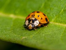 Coccinella magnifica , ladybird beetle royalty free stock photos