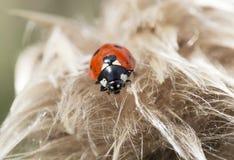 Coccinella magnifica nyckelpigan eller nyckelpigan Royaltyfria Foton