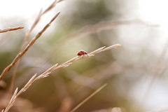 Coccinella nell'erba Immagine Stock