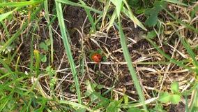 Coccinella nell'erba alta su terra Fotografia Stock Libera da Diritti