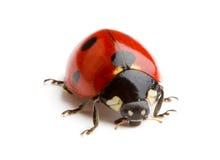 Coccinella o ladybug Immagini Stock