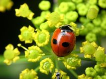 Coccinella quinquepunctata royalty free stock photography