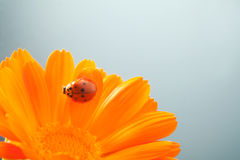Coccinella rossa sopra sul fiore giallo, Fotografia Stock Libera da Diritti