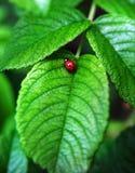 Coccinella rossa su un foglio Fotografia Stock