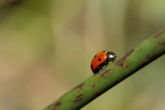 Coccinella septempunctata. Ladybird climbing up on a plant Royalty Free Stock Images
