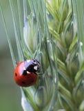 Coccinella septempunctata. On unripe barley Royalty Free Stock Photography