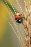 Coccinella septempunctata. Beetle is occurring across Europe Royalty Free Stock Photo