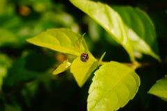 Coccinella septempunctata. A coccinella septempunctata on the green belt leaves Royalty Free Stock Photos