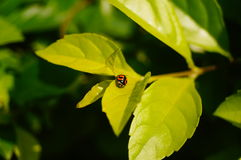 Coccinella septempunctata. A coccinella septempunctata on the green belt leaves Royalty Free Stock Image