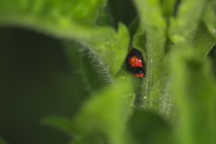 Coccinella septempunctata. On the leaf Royalty Free Stock Images