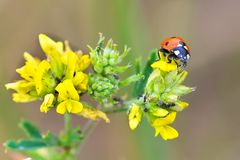 Coccinella-septempunctata, Coccinella-septempunctata, Spezies des Käfers des Familienmarienkäfers stockfoto