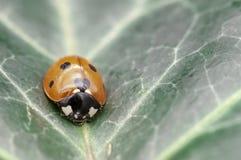 Coccinella septempunctata, znać jako punktu ladybird, dostrzegająca biedronka, C-7 lub punkt damy ściga, obrazy stock