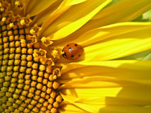 Coccinella (septempunktata di Coccinella) Fotografia Stock Libera da Diritti