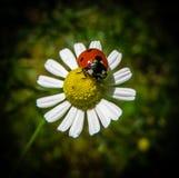 Coccinella su un fiore della camomilla Fotografie Stock