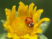 Coccinella su un fiore giallo immagine stock