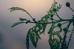 Coccinella su un ramo Immagine Stock