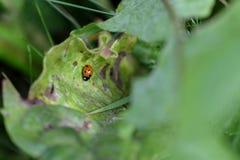 Coccinella su una pianta Fotografie Stock Libere da Diritti